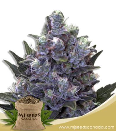 Blue Pyramid Autoflowering Marijuana Seeds