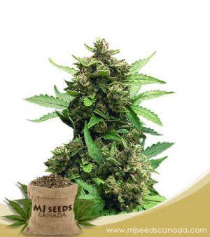 CB Auto Cheese Marijuana Seeds