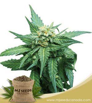 CB Diesel Marijuana Seeds