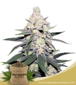 CB Dutch Treat Feminized Marijuana Seeds