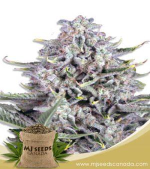CB Gorilla Fast Version Marijuana Seeds