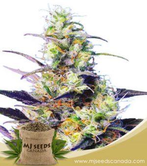 CBD Indica Feminized Fast Version Marijuana Seeds