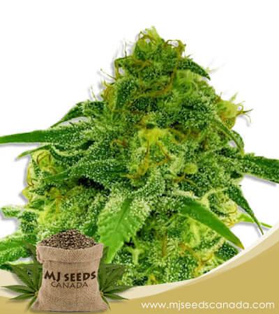 CBD Jack Herer (1:1) Autoflowering Marijuana Seeds