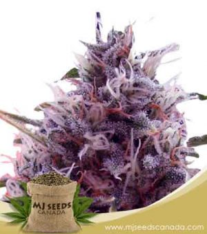 CBD Kali Kush (1:1) Marijuana Seeds