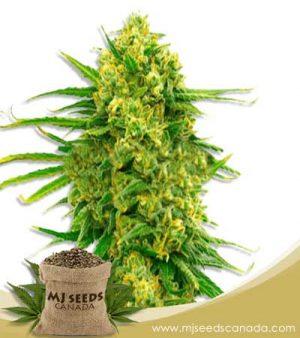 CBD Mexican (1:1) Feminized Marijuana Seeds