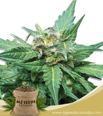 Cali Kush/CBD Indica Marijuana Seeds