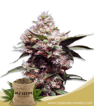 Cherry Blaster Feminized Fast Version Marijuana Seeds