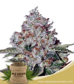 Chocolate Pudding Feminized Fast Version Marijuana Seeds