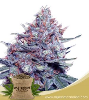 Dwarf King Autoflowering Marijuana Seeds