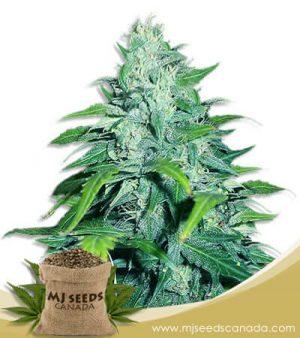 Dwarf Low Flyer Autoflowering Marijuana Seeds