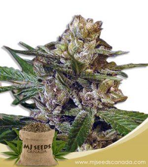Leprechron Feminized Marijuana Seeds