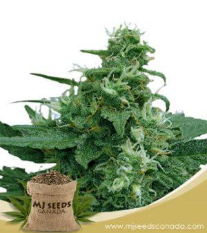 Moonlight Auto Fast Version Marijuana Seeds
