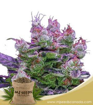 Purple Dream Feminized Fast Version Marijuana Seeds