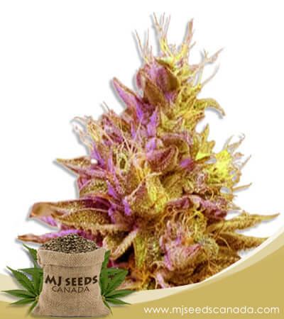Redwood Kush Feminized Fast Version Marijuana Seeds