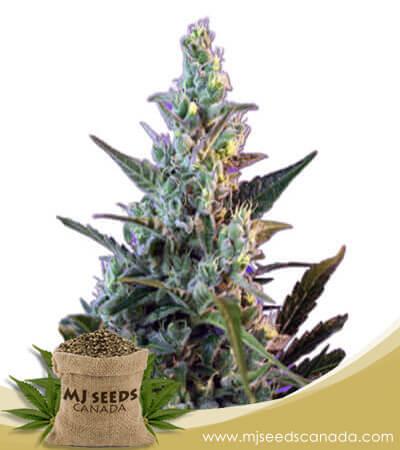 Skunk Feminized Fast Version Marijuana Seeds