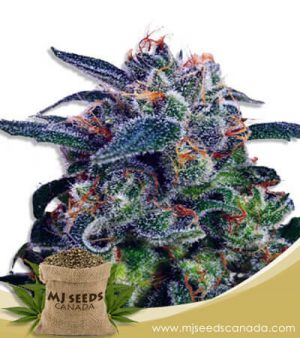 Strawberry Milk Feminized Fast Version Marijuana Seeds