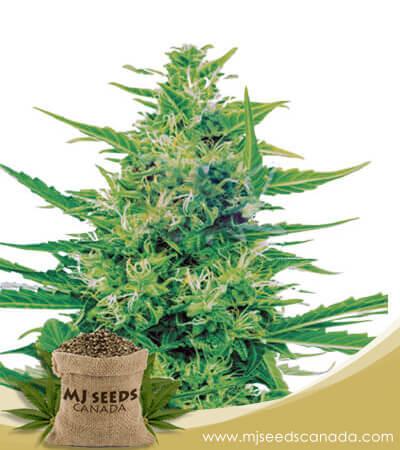 Super Silver Haze CBD Marijuana Seeds