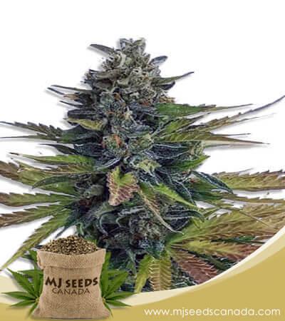 Triple Diesel Autoflowering Marijuana Seeds