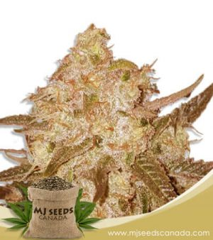 Venice OG Feminized Fast Version Marijuana Seeds
