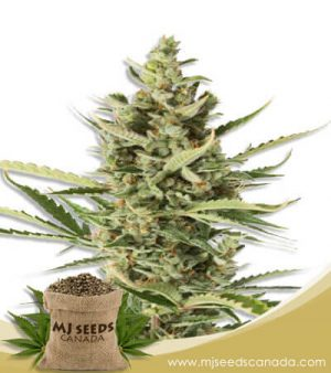 Wake n Bake Feminized Fast Version Marijuana Seeds