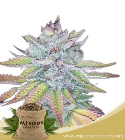 Watermelon Feminized Marijuana Seeds