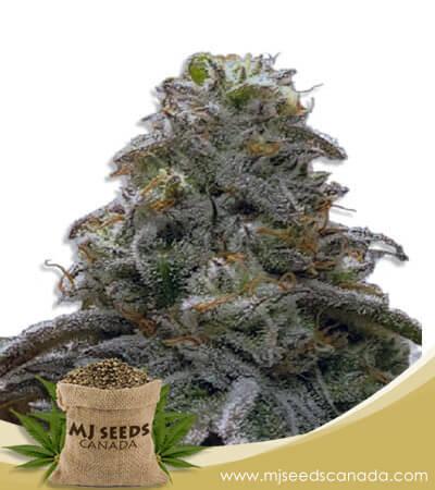 Watermelon OG Autoflowering Marijuana Seeds