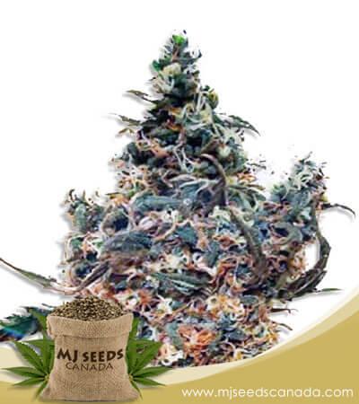 White Dream Autoflowering Marijuana Seeds