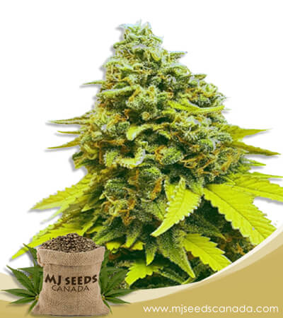 White Dwarf Feminized Marijuana Seeds