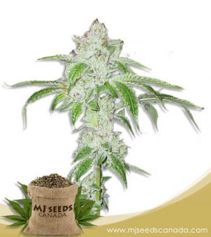 White Fire OG Auto Fast Version Marijuana Seeds
