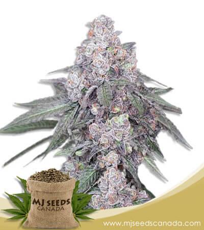 White Runtz Autoflowering Marijuana Seeds