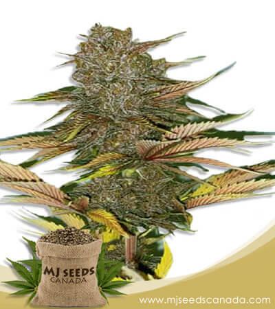 Zodiac Autoflower Fast Version Marijuana Seeds