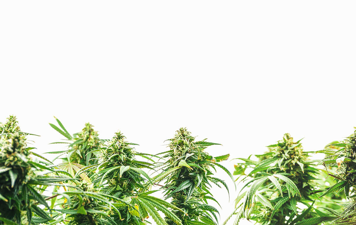 CBD and THC Together: How do They Work?