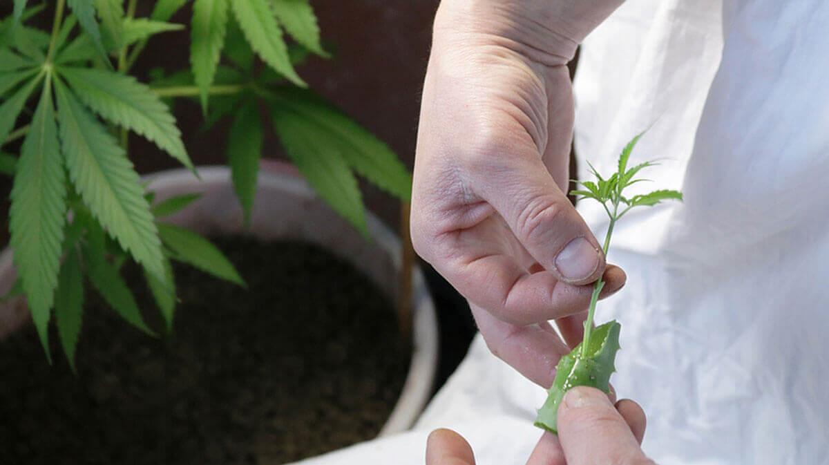 How to Clone Marijuana 101