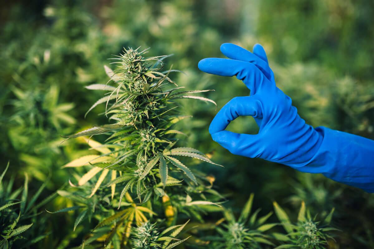 How to Get a Marijuana Growing License