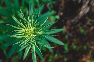 Ultimate Tutorial on Mainlining Weed