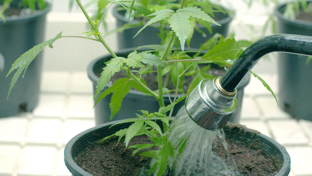 Watering Weed the Proper Way: Useful Guide