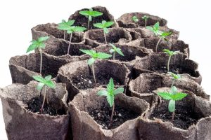 Weed Seedling Stages Every Grower Should Know