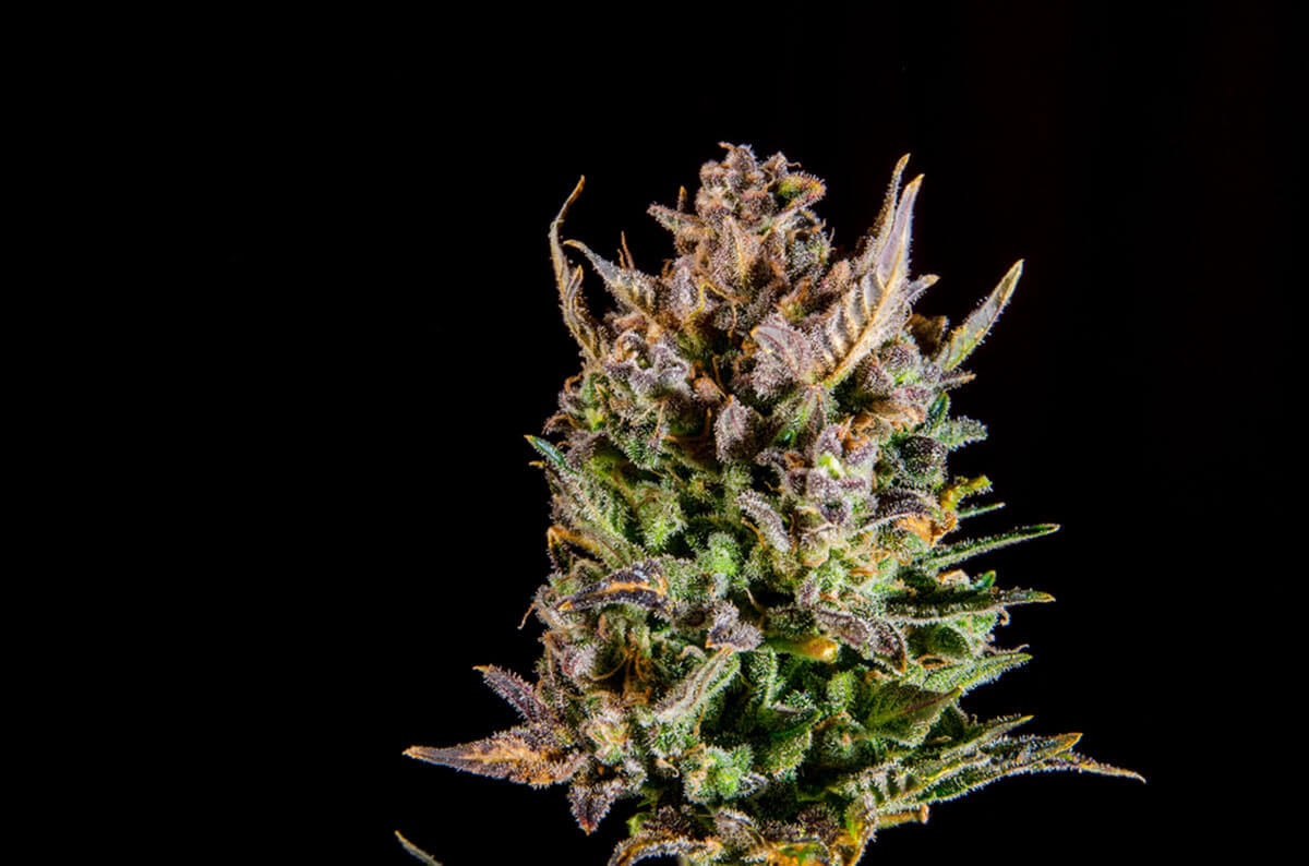 What are the Best Strains for Anxiety?