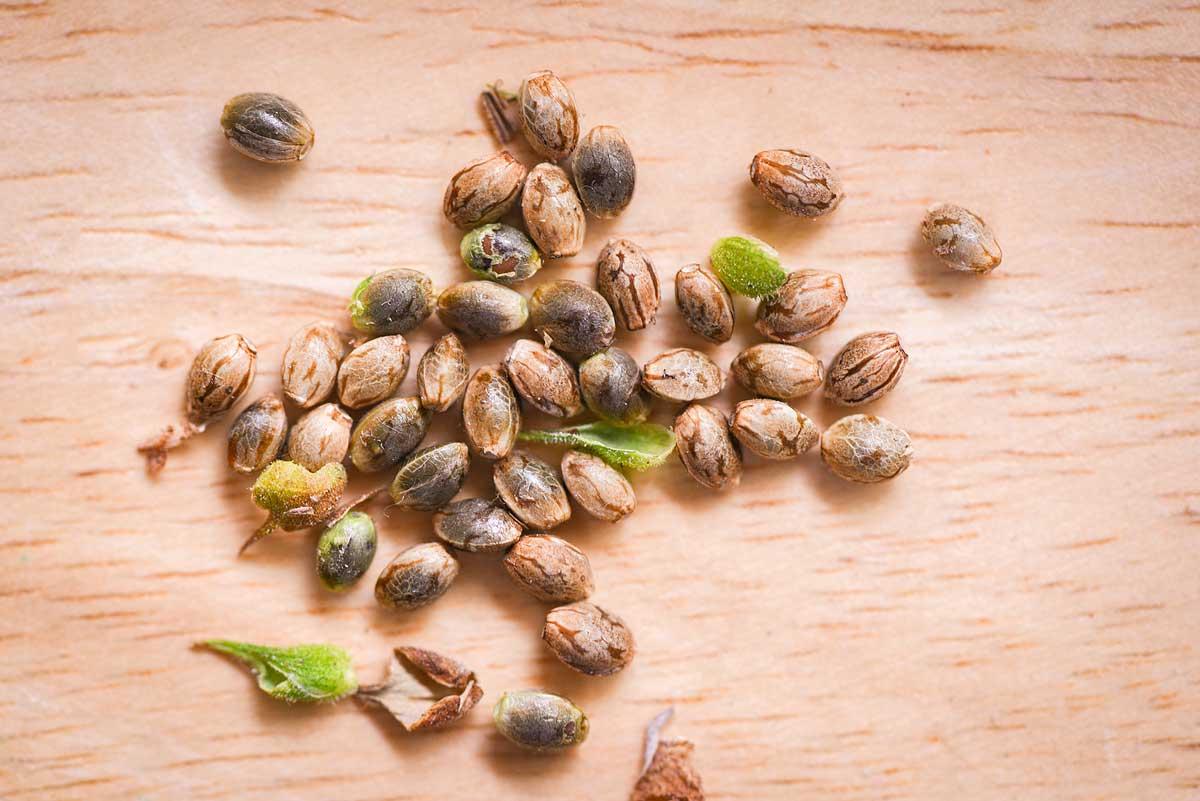 Cheap Marijuana Seeds from Canada