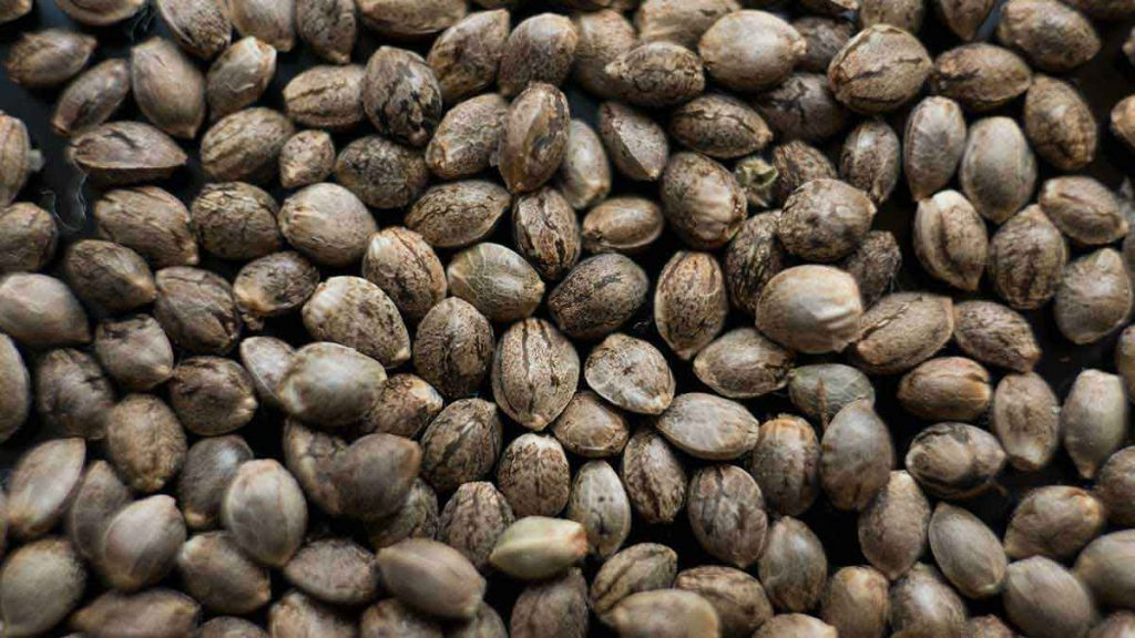 How to tell if your Cannabis Seeds are Healthy