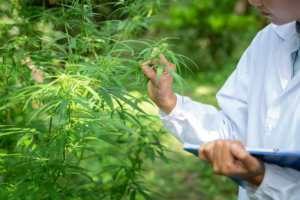 Why Grow Feminized Marijuana Plants
