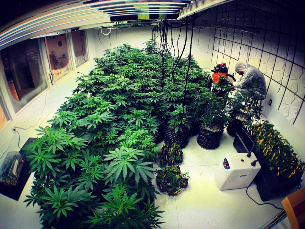 pruning cannabis