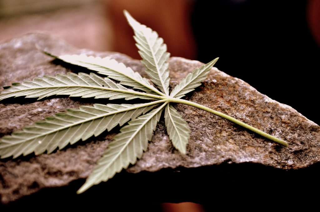 cannabis nutrient burn