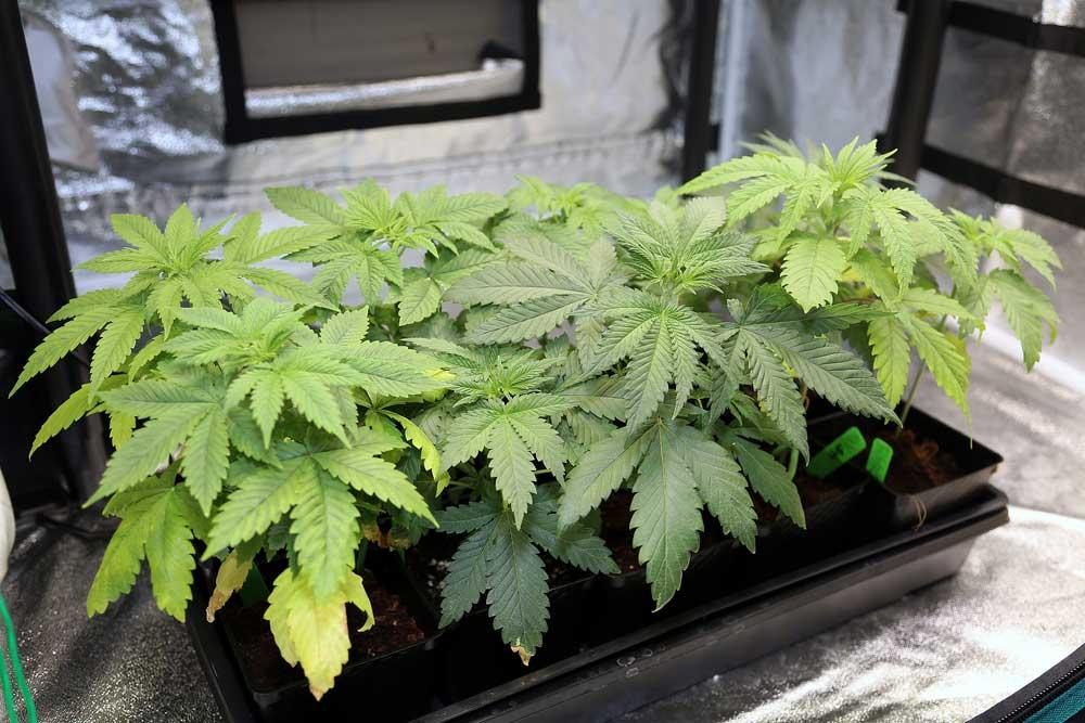 Clone Machine for Cannabis