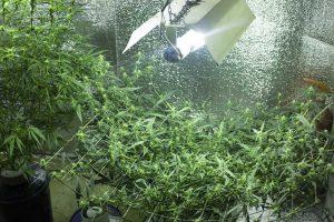 Best Indoor Marijuana Strains