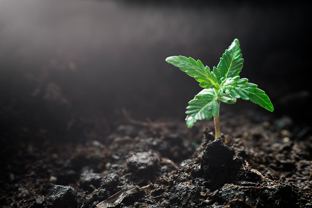 How Long Does It Take Marijuana Seeds to Germinate